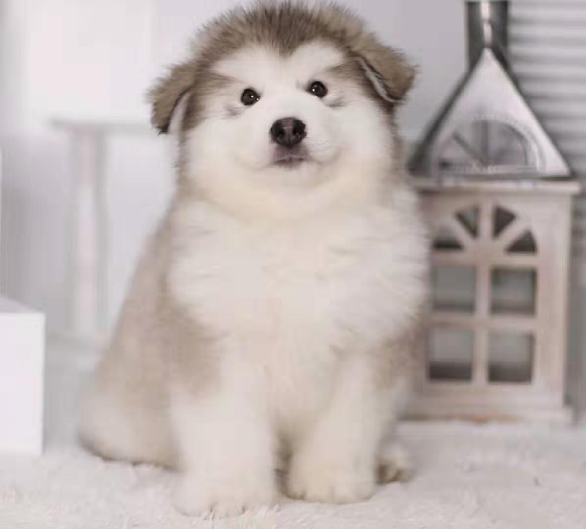犬舍繁殖纯种健康的高端阿拉斯加幼犬1