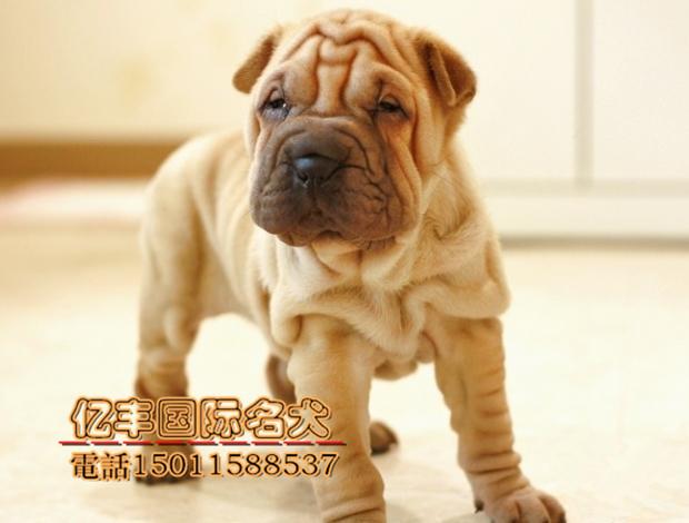沙皮狗一般多少钱_北京沙皮多少钱 纯种沙皮哪里有 亿丰犬舍直销_北京沙皮狗 _狗铺子