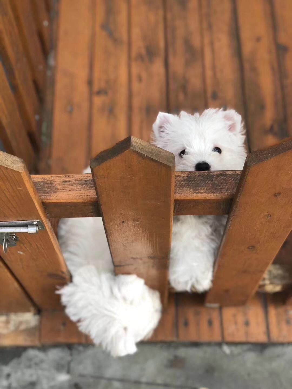 犬舍繁殖纯种健康的西高地幼犬2