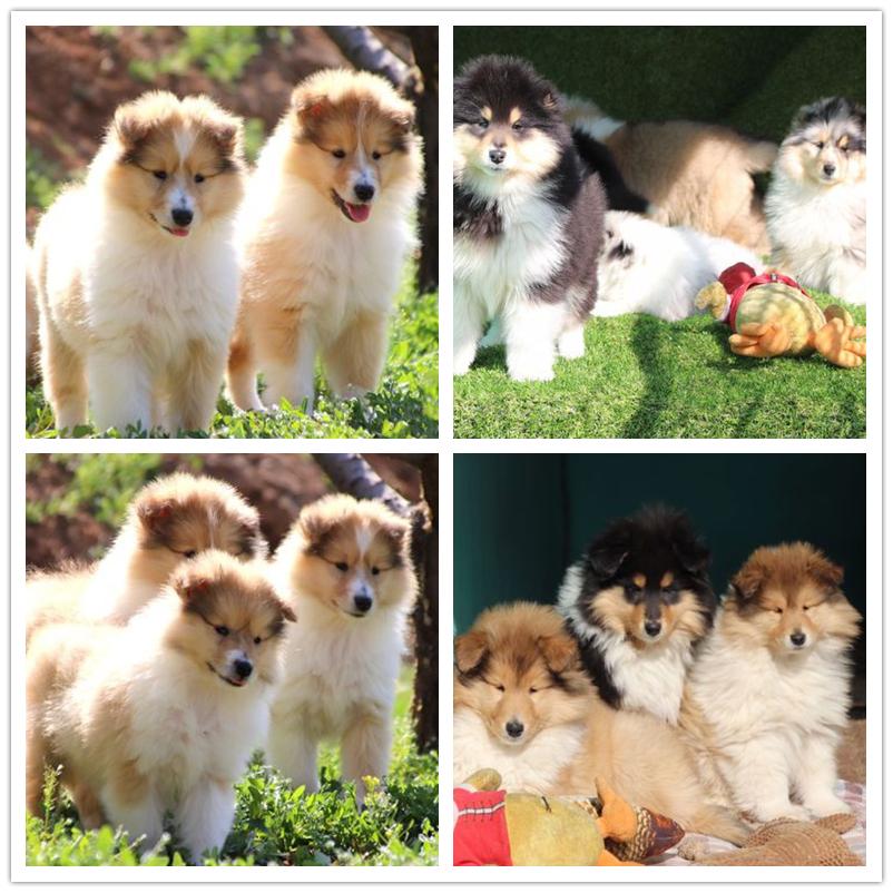 犬舍繁殖纯种健康的精品苏牧幼犬4