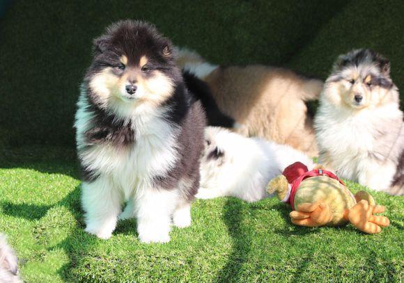 犬舍繁殖纯种健康的精品苏牧幼犬3