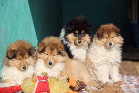 犬舍繁殖纯种健康的精品苏牧幼犬2