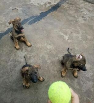 云南楚雄狗场昆明犬常年出售昆明犬和德牧有德牧区别