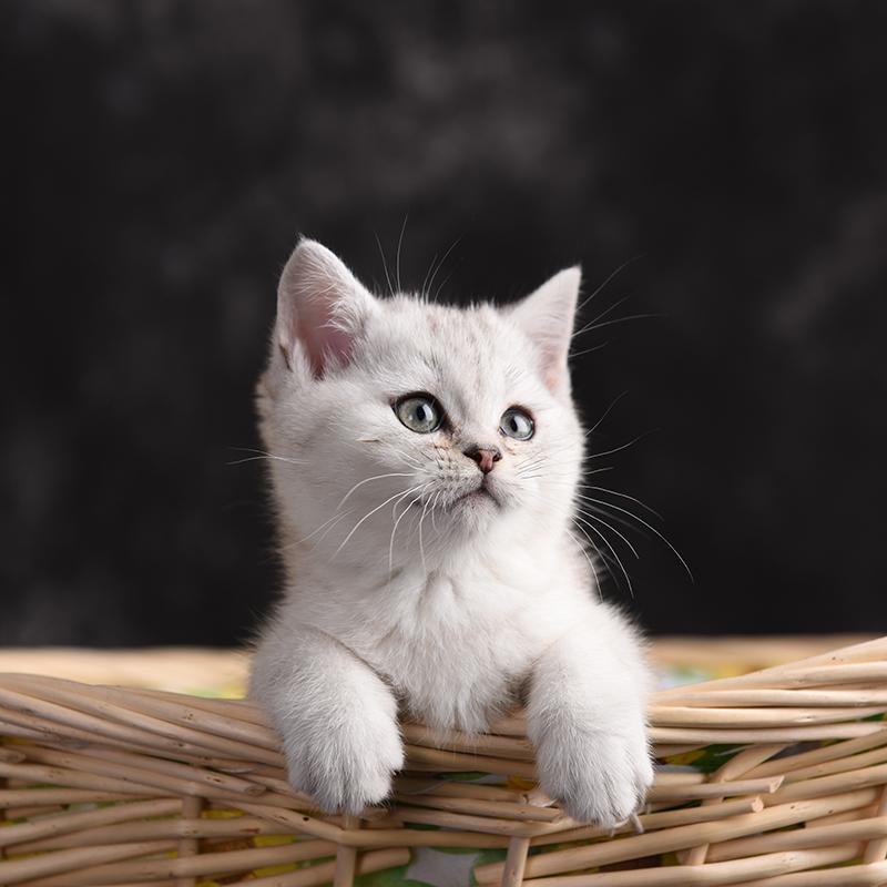 出售纯正美国短毛猫咪 生活自理健康活泼可爱 全国发货