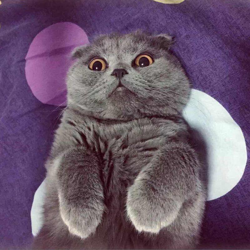 正规宠物商家英短蓝猫,漂亮蓝胖子 疫苗齐全