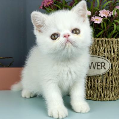 正规CFA猫舍 纯种加菲猫 育苗齐全 包活签协议 送货上门