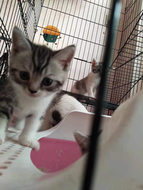 自家养的美短小猫咪,活泼可爱,欢迎来家里挑选