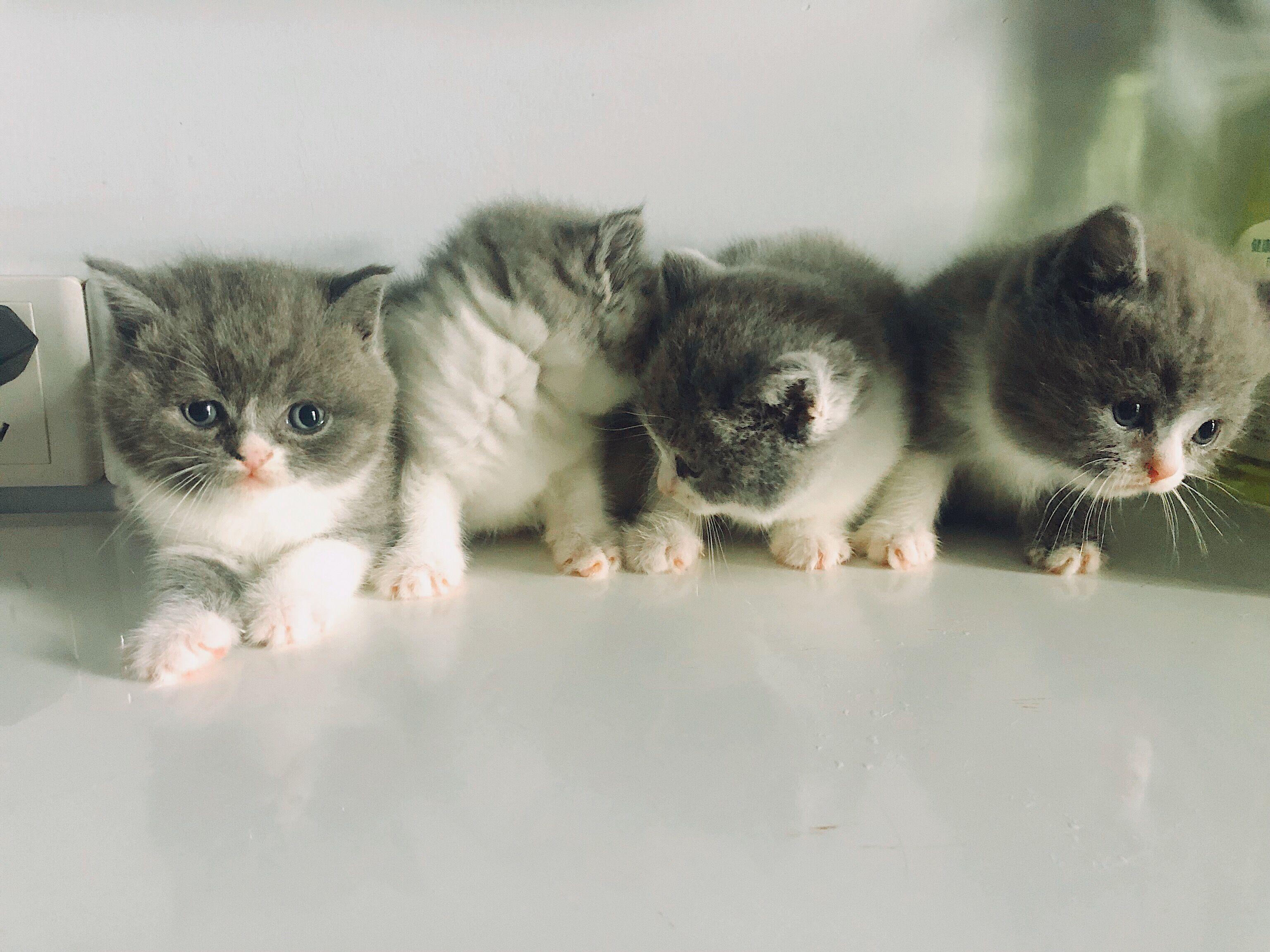 自家蓝白猫咪弟弟妹妹都有
