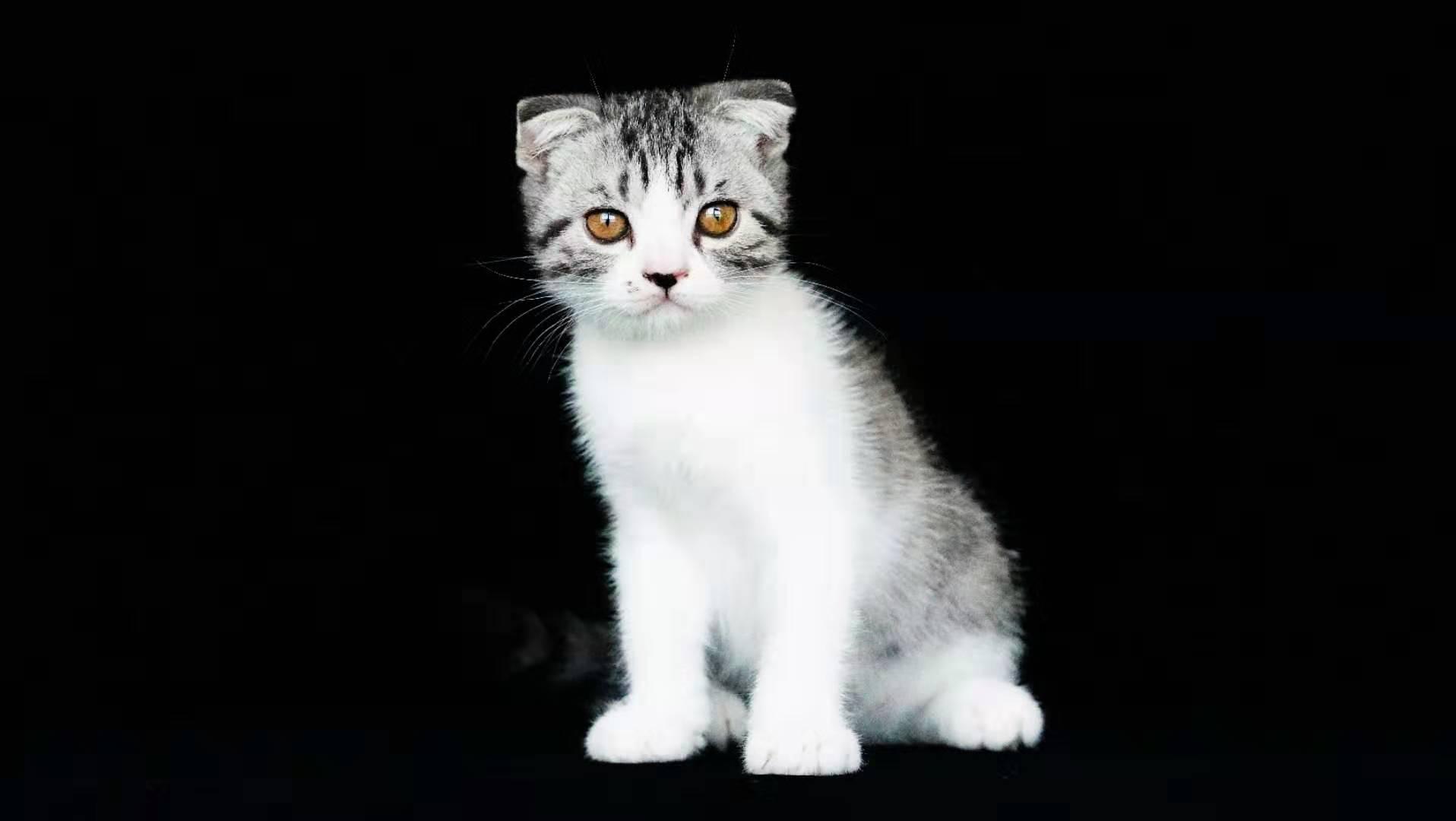美短折耳,开脸好,自家养,不是猫舍