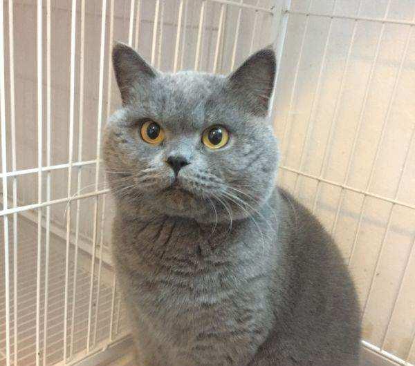 官方推荐猫舍 7天无理由退货 正规CFA猫舍 英国短毛猫