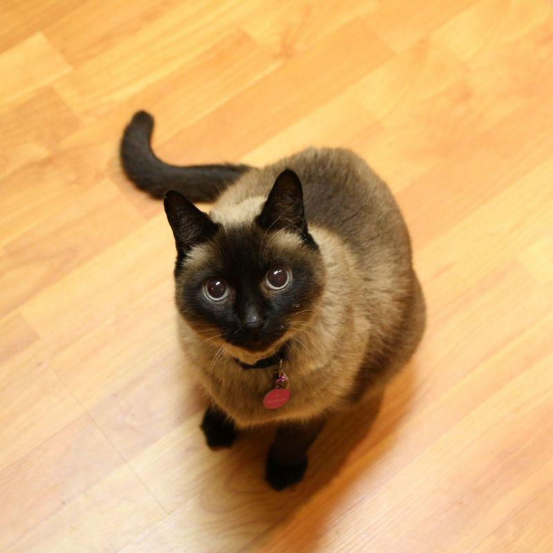 官方推荐猫舍 7天无理由退货 正规CFA猫舍 暹罗猫2