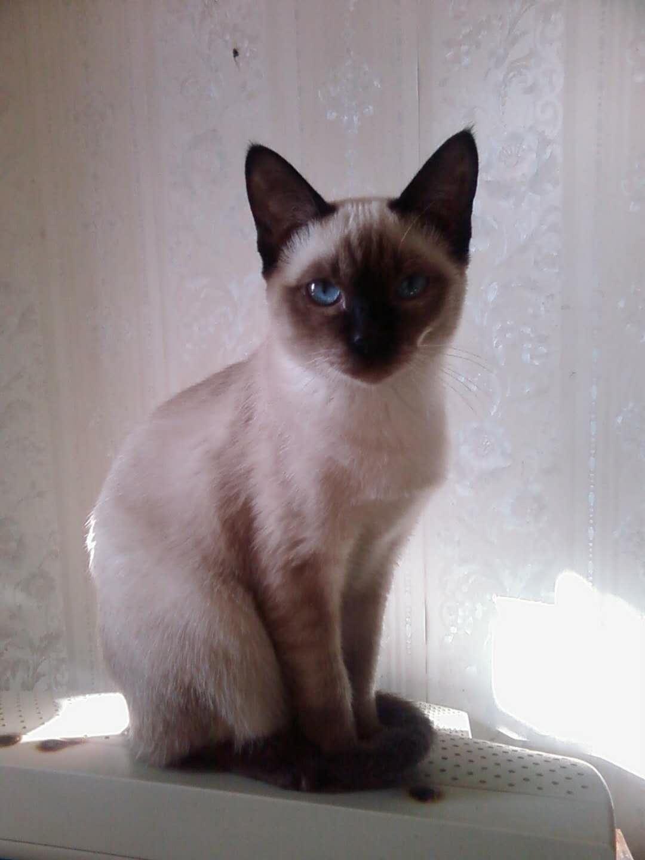 官方推荐猫舍 7天无理由退货 正规CFA猫舍 暹罗猫4