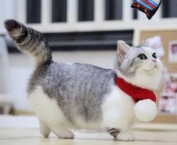 官方推荐猫舍 7天无理由退货 正规CFA猫舍 曼基康猫售2