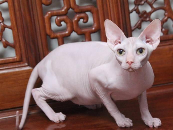 官方推荐猫舍 7天无理由退货 正规CFA猫舍 无毛猫出售