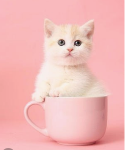 官方推荐猫舍 7天无理由退货 正规CFA猫舍 曼基康猫售