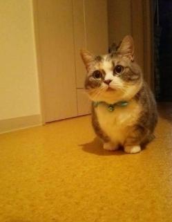 官方推荐猫舍 7天无理由退货 正规CFA猫舍 曼基康猫售3