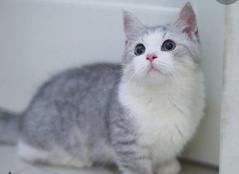 官方推荐猫舍 7天无理由退货 正规CFA猫舍 曼基康猫售4