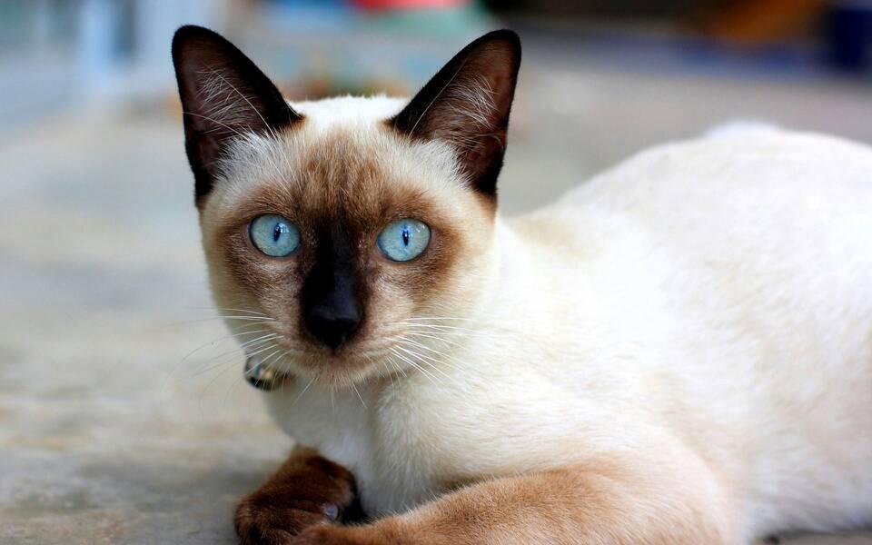 官方推荐猫舍 7天无理由退货 正规CFA猫舍 暹罗猫