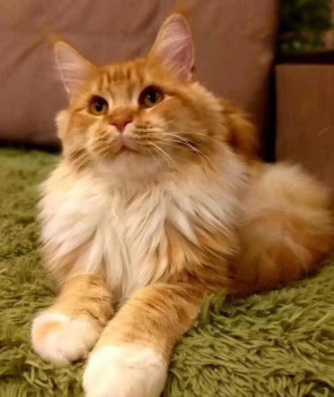 官方推荐猫舍 7天无理由退货 正规CFA猫舍 缅因猫出售