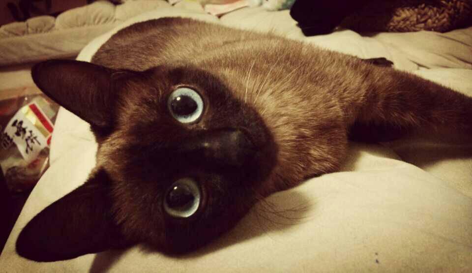 官方推荐猫舍 7天无理由退货 正规CFA猫舍 暹罗猫3
