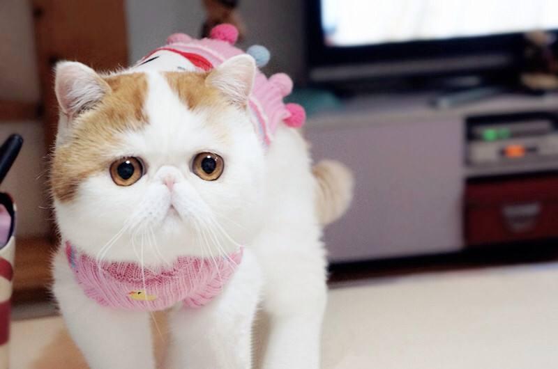 官方推荐猫舍 7天无理由退货 正规CFA猫舍 加菲猫