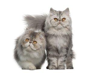 官方推荐猫舍 7天无理由退货 正规CFA猫舍 波斯猫