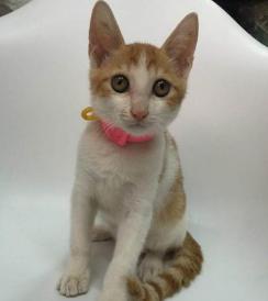 官方推荐猫舍 7天无理由退货 正规CFA猫舍 中华田园猫3