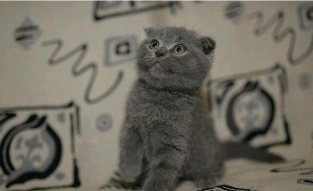 官方推荐猫舍 7天无理由退货 正规CFA猫舍 折耳猫