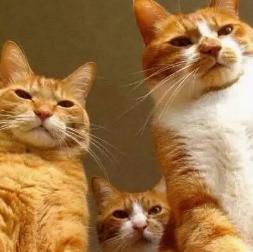 官方推荐猫舍 7天无理由退货 正规CFA猫舍 中华田园猫2