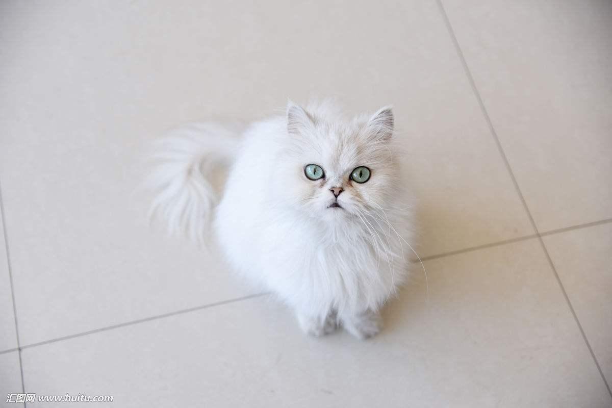 官方推荐猫舍 7天无理由退货 正规CFA猫舍 金吉拉猫