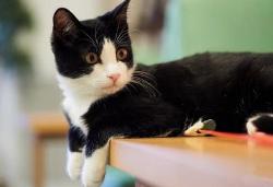 官方推荐猫舍 7天无理由退货 正规CFA猫舍 中华田园猫4