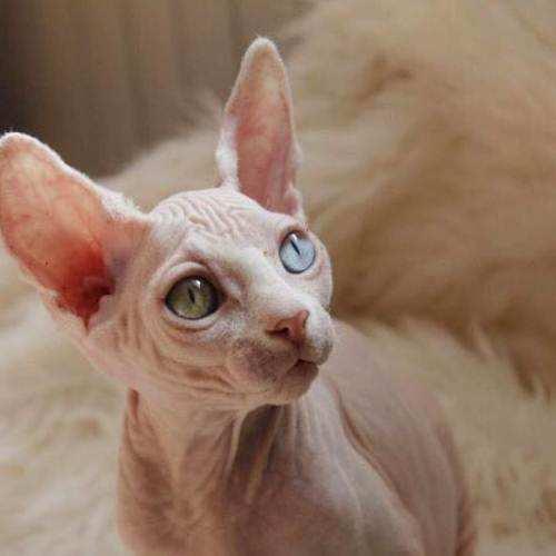 官方推荐猫舍 7天无理由退货 正规CFA猫舍 无毛猫