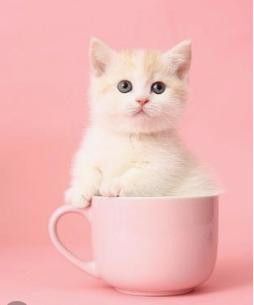 包纯种健康曼基康猫 全国签订协议 送货上门