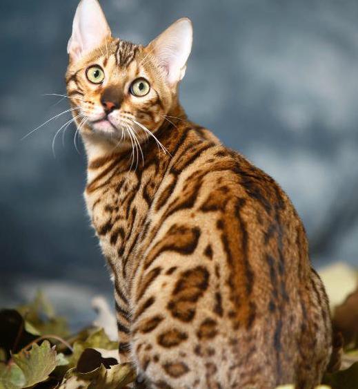 包纯种健康 全国包邮 哪里有豹猫卖 签订协议3