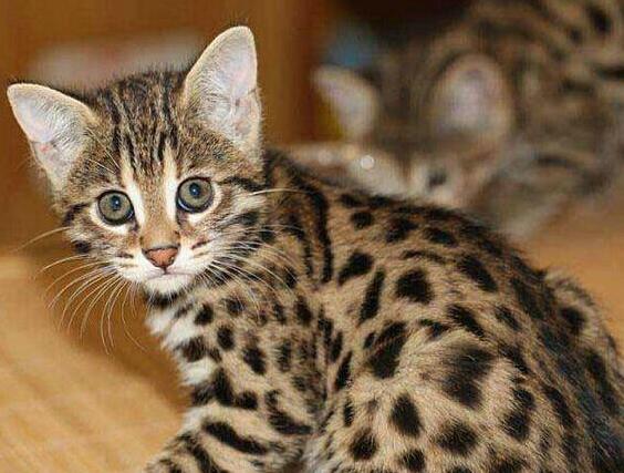 包纯种健康 全国包邮 哪里有豹猫卖 签订协议4