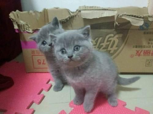 广州蓝猫哪里有卖 优质血统 纯种健康
