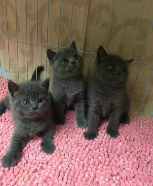 深圳罗湖哪里有卖蓝猫?纯种蓝猫多少钱
