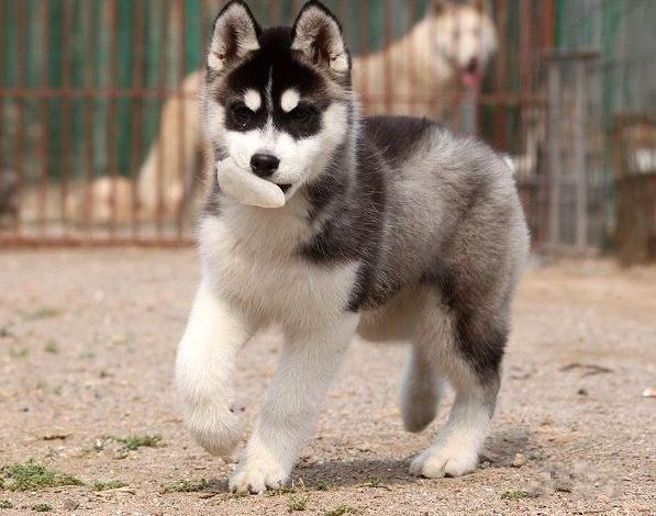 纯种哈士奇 北京哈士奇多少钱一只 北京京诺犬业直销10