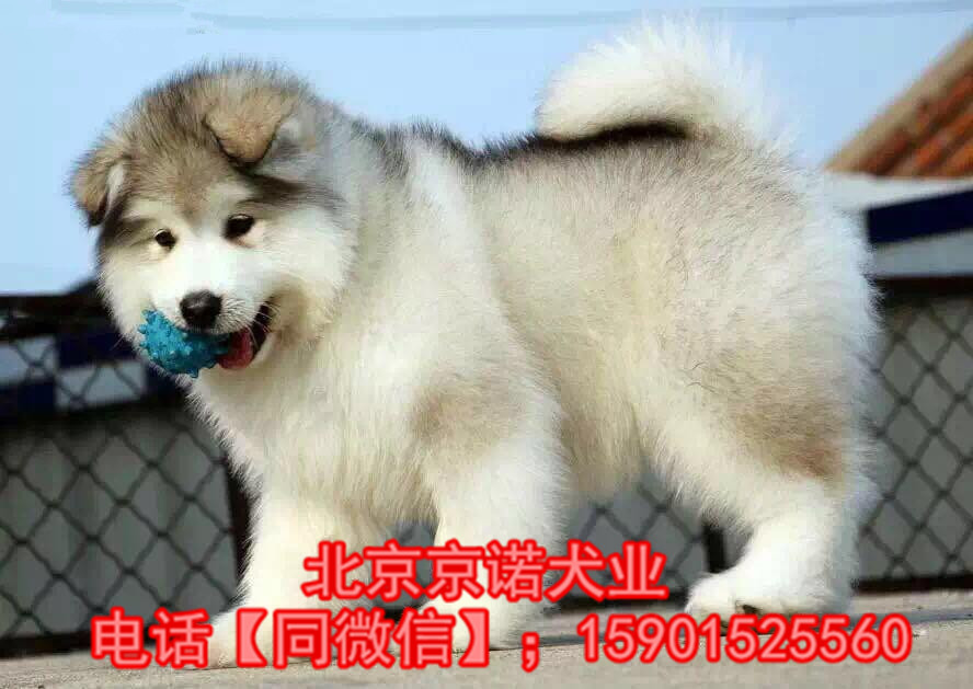 阿拉斯加雪橇犬巨型阿拉斯加 纯种阿拉斯加雪橇犬12