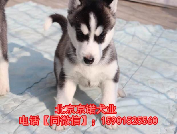 纯种哈士奇 北京哈士奇多少钱一只 北京京诺犬业直销8