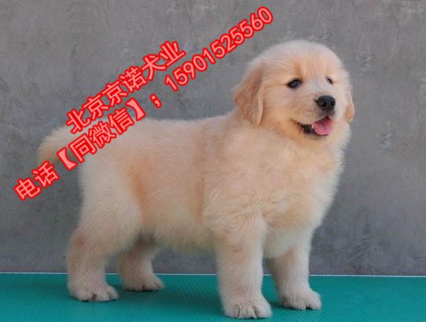 纯种金毛 北京金毛多少钱一只 保健康 北京京诺犬业直销8