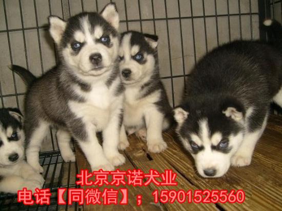 纯种哈士奇 北京哈士奇多少钱一只 北京京诺犬业直销7