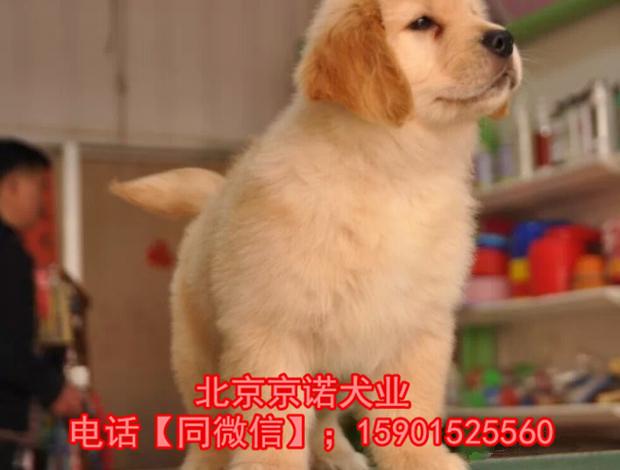 纯种金毛 北京金毛多少钱一只 保健康 北京京诺犬业直销9