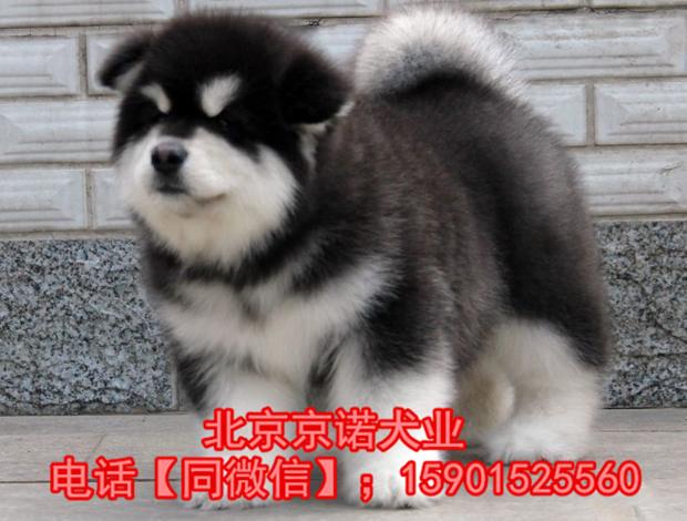 阿拉斯加雪橇犬巨型阿拉斯加 纯种阿拉斯加雪橇犬3
