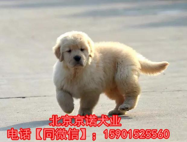 纯种金毛 北京金毛多少钱一只 保健康 北京京诺犬业直销6