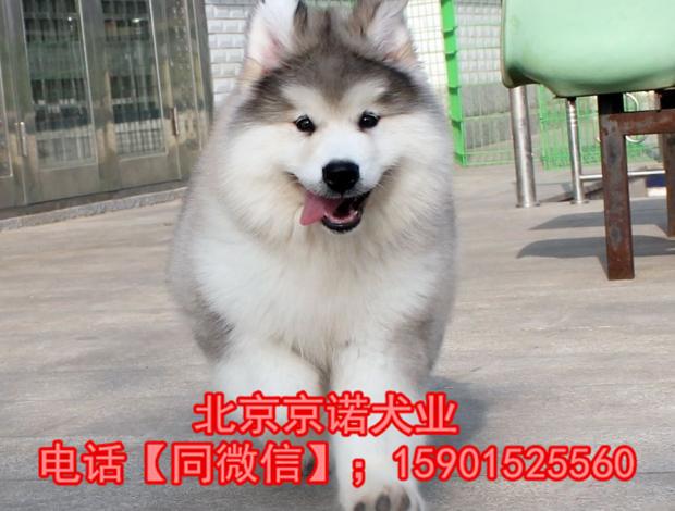 阿拉斯加雪橇犬巨型阿拉斯加 纯种阿拉斯加雪橇犬8
