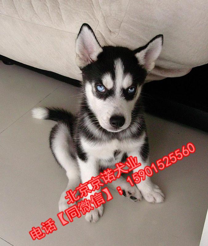 纯种哈士奇 北京哈士奇多少钱一只 北京京诺犬业直销1