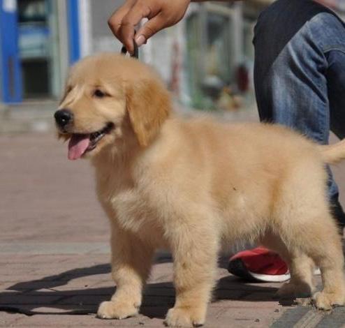 纯种金毛 北京金毛多少钱一只 保健康 北京京诺犬业直销10
