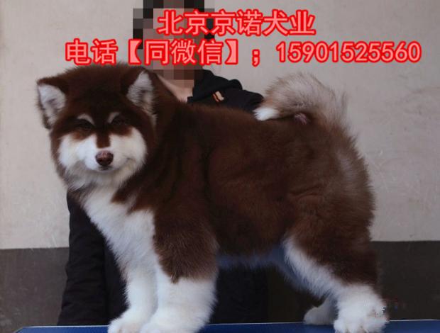 阿拉斯加雪橇犬巨型阿拉斯加 纯种阿拉斯加雪橇犬7