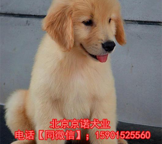 纯种金毛 北京金毛多少钱一只 保健康 北京京诺犬业直销2